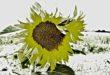 Des fleurs et des fleurs … sorties de mon herbier fleuri